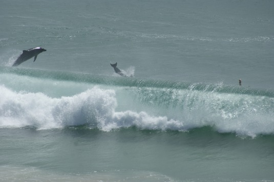 Dolphins playing in the waves off Diggers Camp
