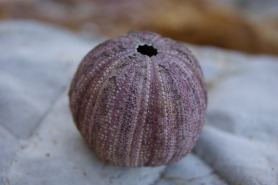 Sea Urchin shell